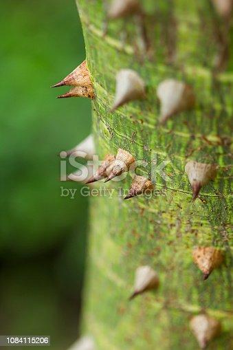 Bombax ceiba is a soft wood with sharp thorns.