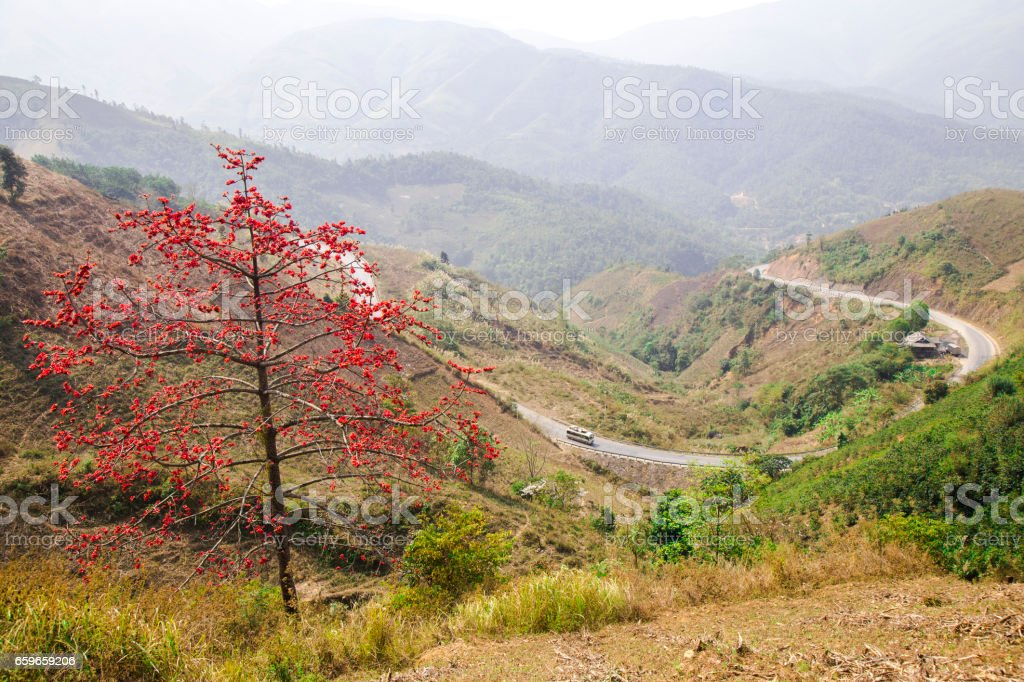 Bombax ceiba tree with red flower blooming in the sunlight of spring stock photo