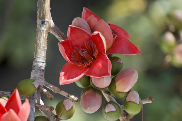 Bombax ceiba/Red Silk-Cotton_Close up stock photo