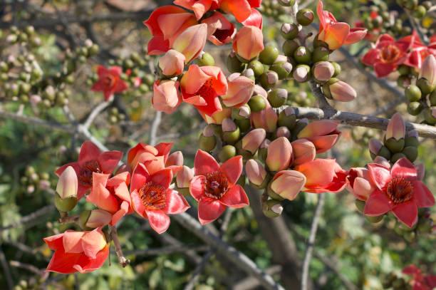 Bombax ceiba/Red Silk-Cotton_full stock photo