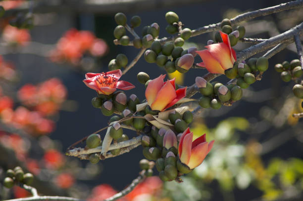 Bombax ceiba/Red Silk-Cotton_medieum stock photo