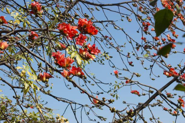 Bombax ceiba/Red Silk-Cotton_wide stock photo
