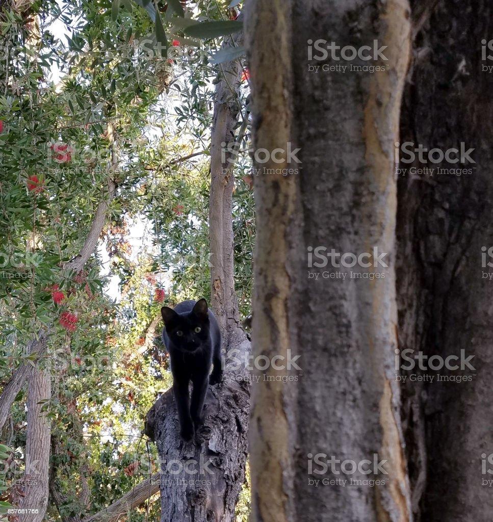 Bombay Cat stock photo