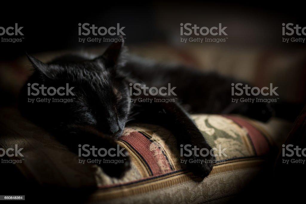 Bombay cat sleeping stock photo