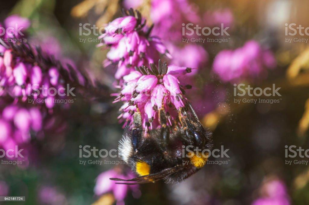 Bombo su fiore di erica - macro insetto - foto di stock immagine - foto stock