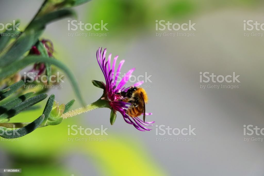Bombus on Cephalophyllum subulatoides in Italy stock photo