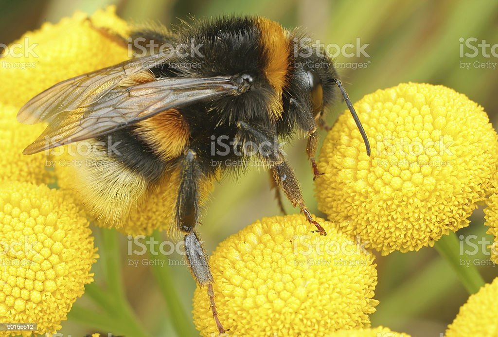 Bombus pascuorum stock photo