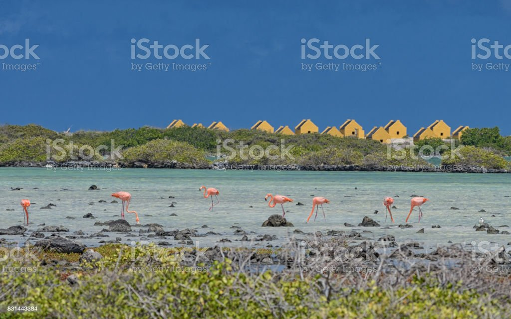 Bonaire Pink flamingos with red slave in the background stock photo