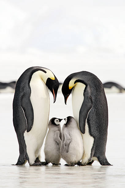 Bonding Time Adult Emperor Penguins with chicks. Antarctica. emperor penguin stock pictures, royalty-free photos & images