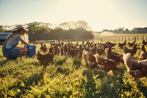 bonding with her flock - pollo foto e immagini stock