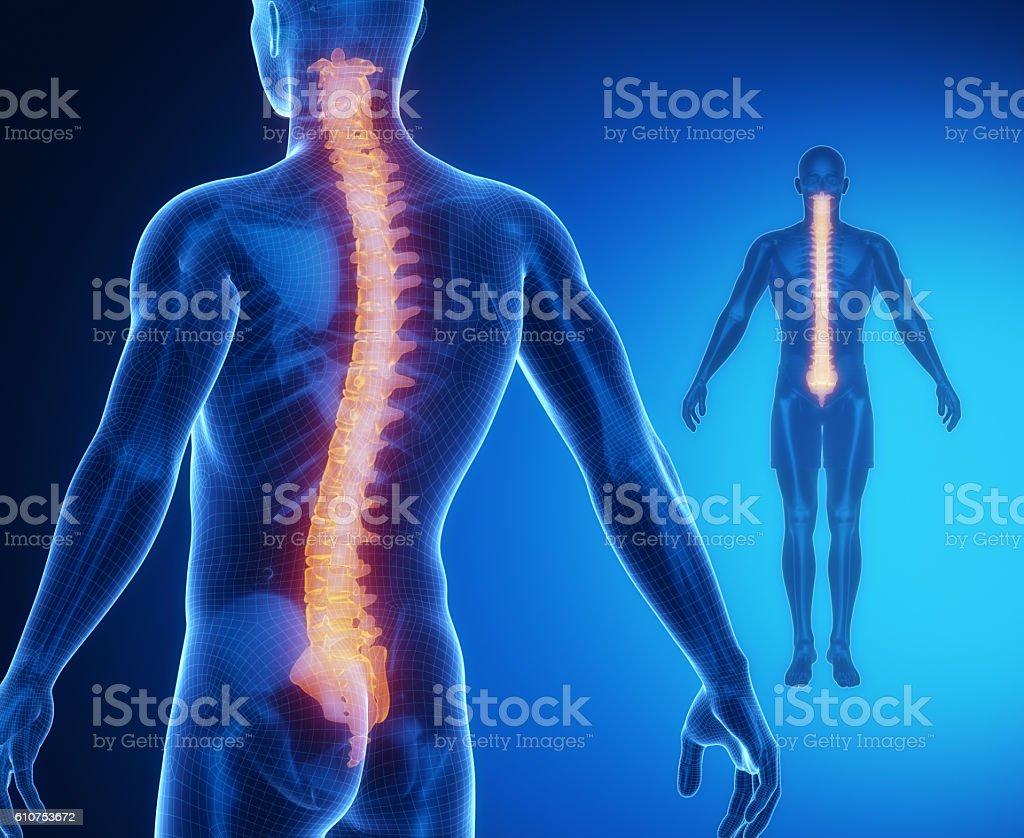 SPINE anatomy radiografía de la gammagrafía ósea  - foto de stock