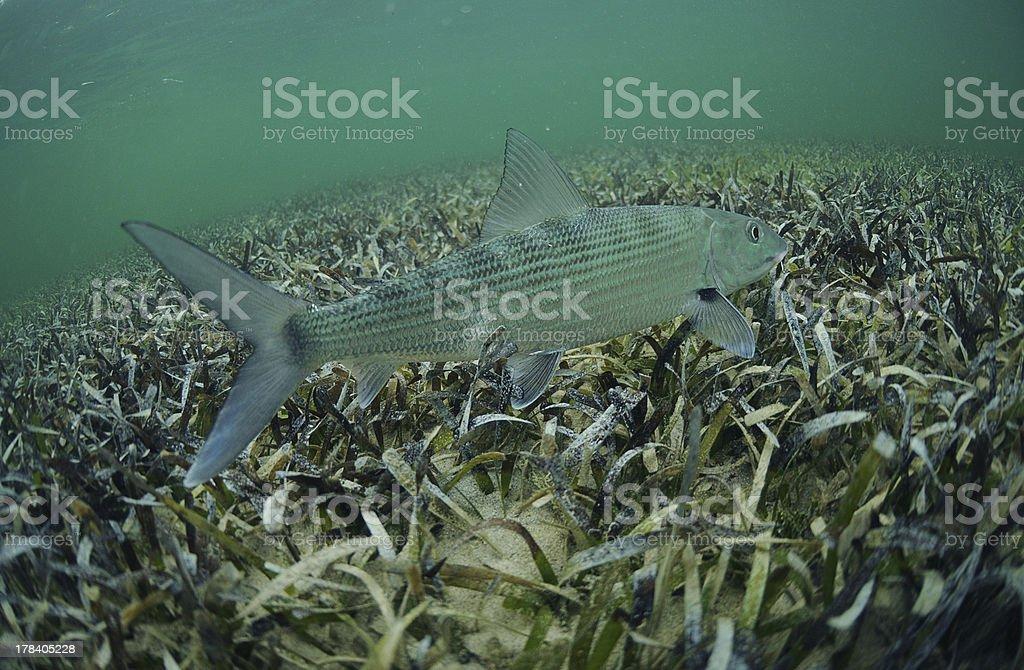bonefish in ocean stock photo