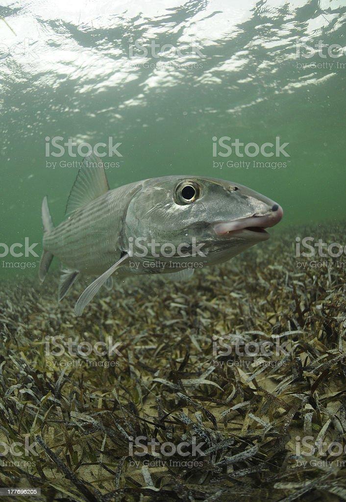 bonefish stock photo