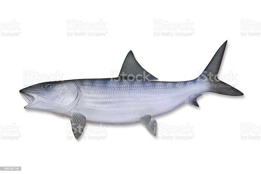 Bonefish with Clipping Path stock photo