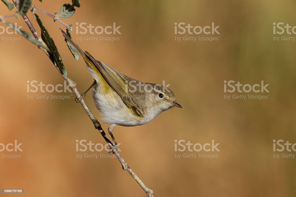 Bonelli's warbler, Phylloscopus bonelli stock photo