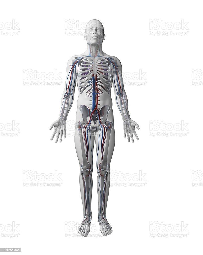 Knochen Und Die Blutgefäße Stockfoto 475704999 | iStock