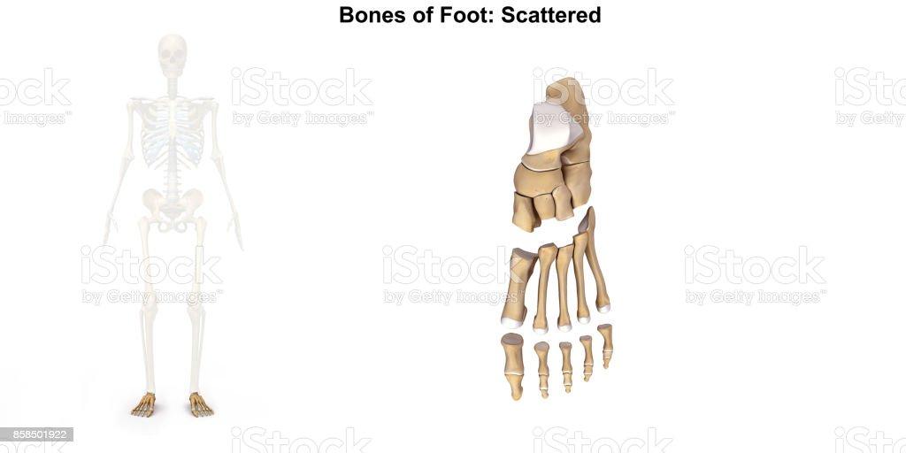 Bones of Foot _ Dorsal view stock photo