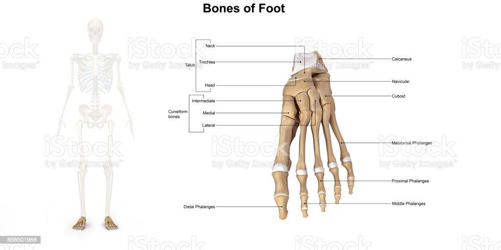 Knochen Des Fußes Dorsalansicht Stock-Fotografie und mehr Bilder von ...