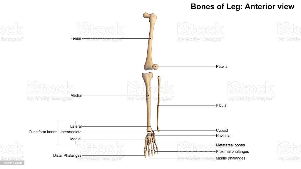 Bones Of Leg Anterior View Stock Fotografie Und Mehr Bilder Von