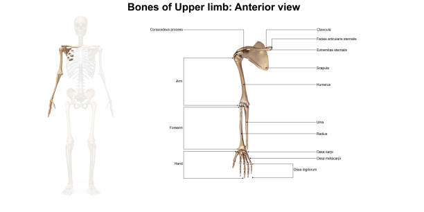 Royalty Free Upper Arm Bones Pictures Images And Stock Photos Istock
