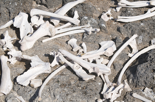 Pile of bleached bones scattered across rough rock
