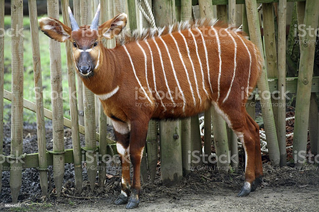 Bongo antelope royalty-free stock photo