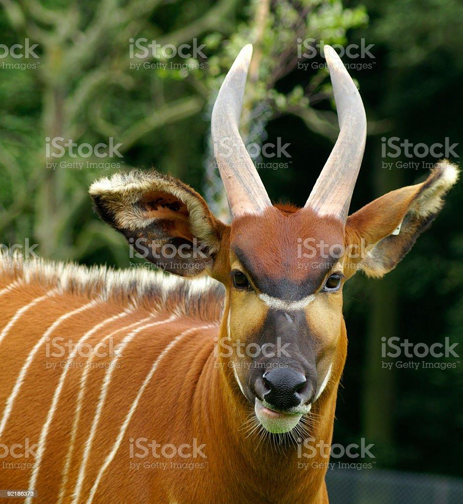 Bongo antelope portrait royalty-free stock photo