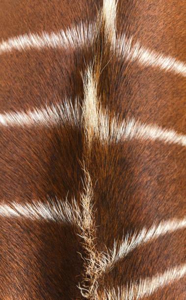 Bongo Hair stock photo