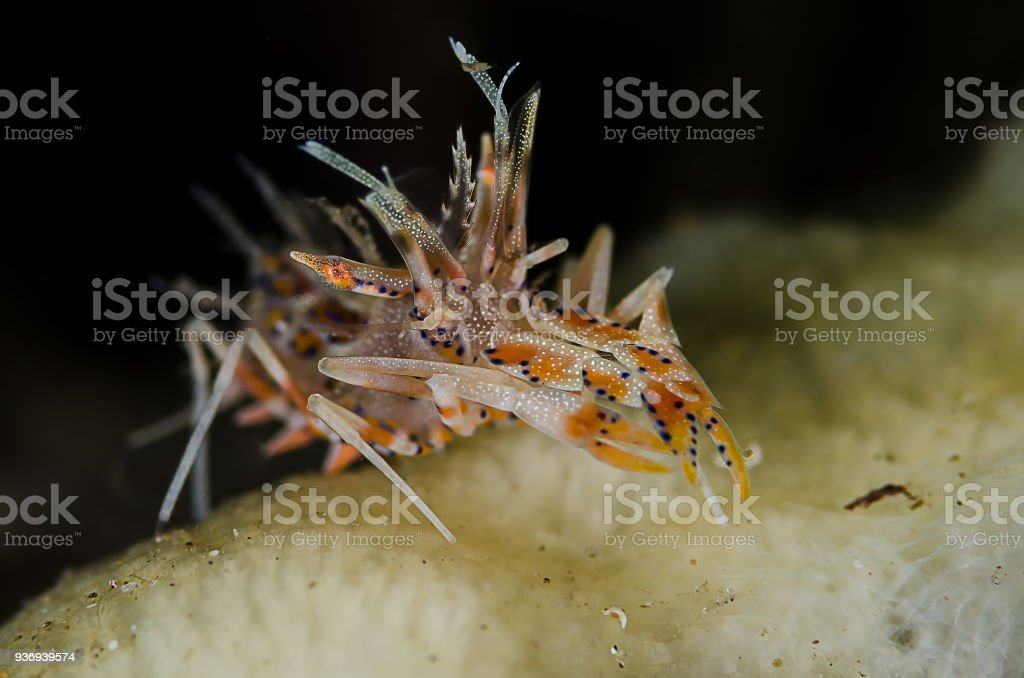 Bongo Shrimp (Phyllognathia ceratophthalma) stock photo