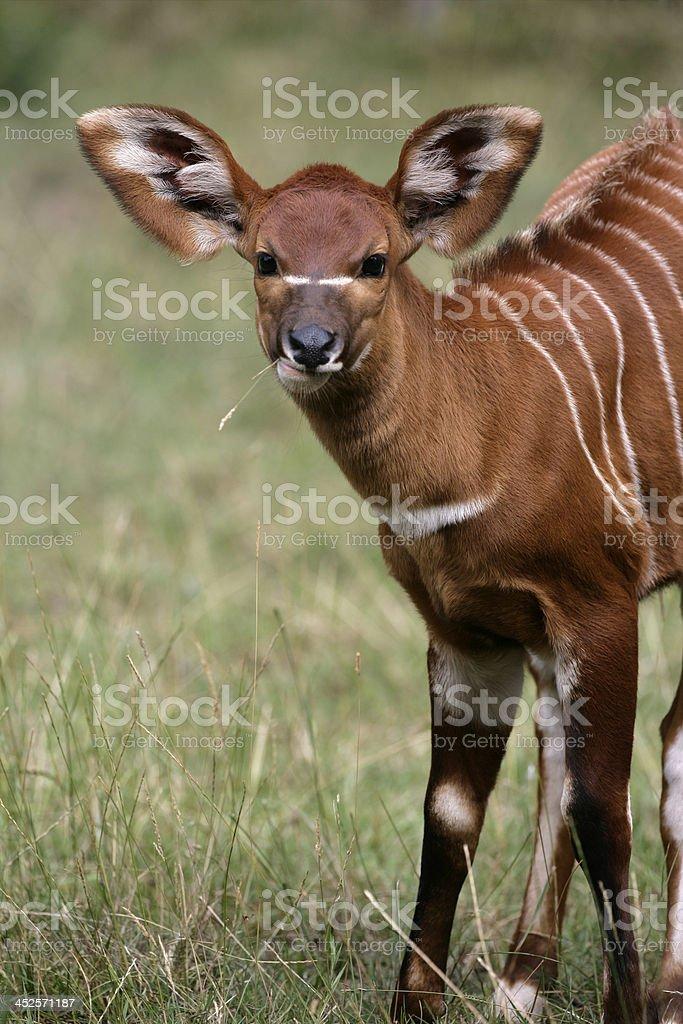 Bongó, Tragelaphus eurycerus - foto de stock