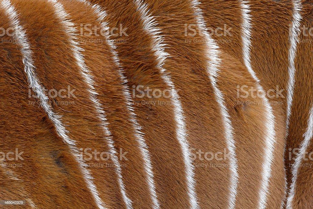 Bongó, Tragelaphus eurycerus, - foto de stock