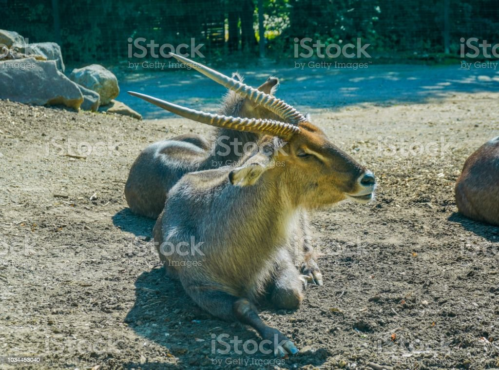 Bongos relaxing on the ground stock photo