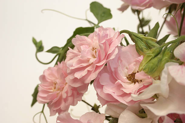 Bonica Roses and Sweetpeas stock photo