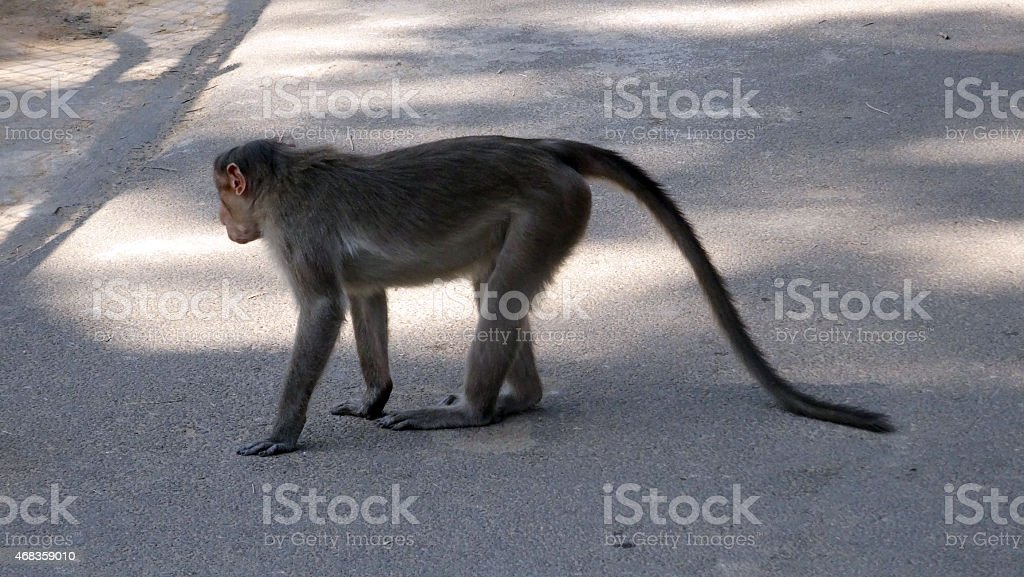 Bonnet Macaque on the street royalty-free stock photo
