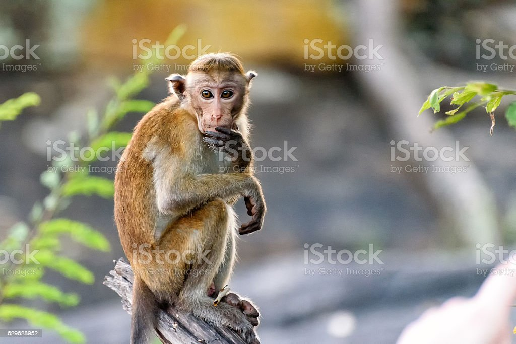 bonnet monkey stock photo