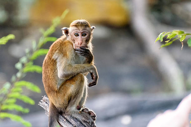 bonnet monkey - ape stock pictures, royalty-free photos & images