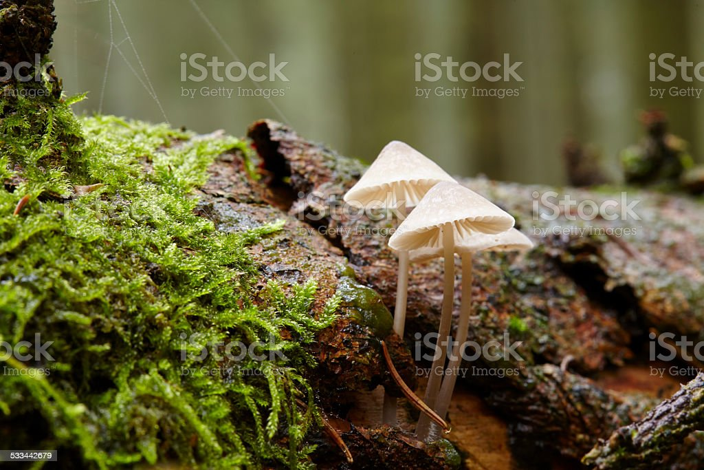 Bonnets growing on a rotting trunk stock photo