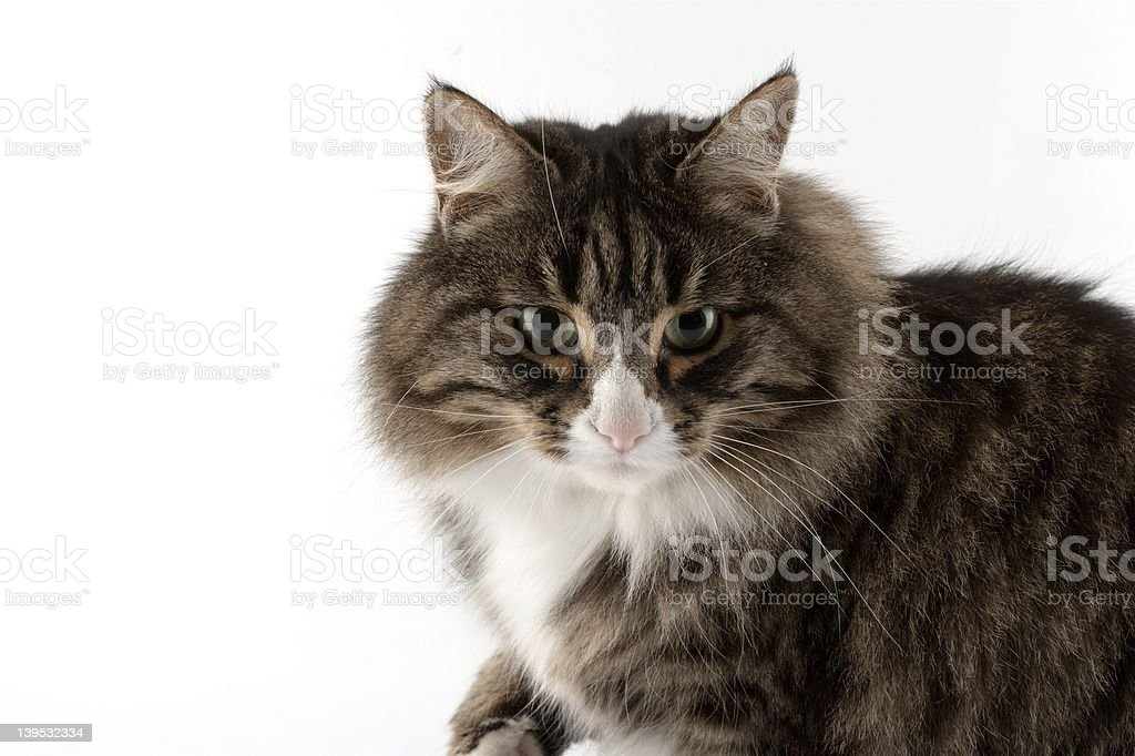 Bonnie the cat... royalty-free stock photo