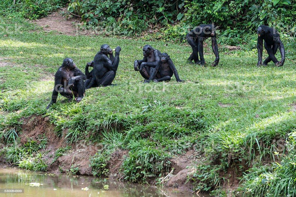 Bonobo group at the river (Pan paniscus, Pygmy Chimpanzee) stock photo