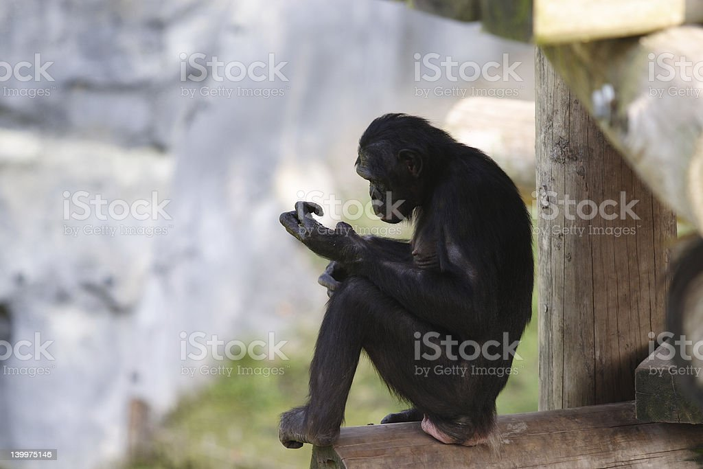 Bonobo in a Tree House royalty-free stock photo