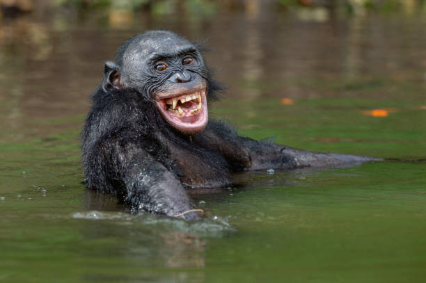 Bonobo in the water. stock photo