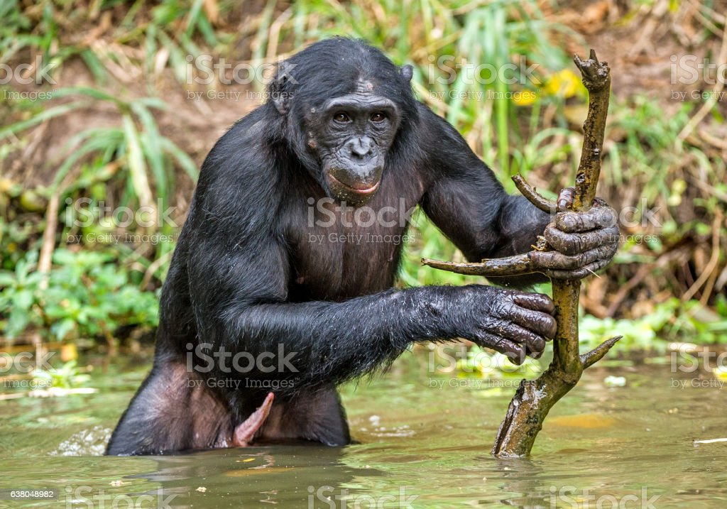Bonobo in the water with stick. - Photo