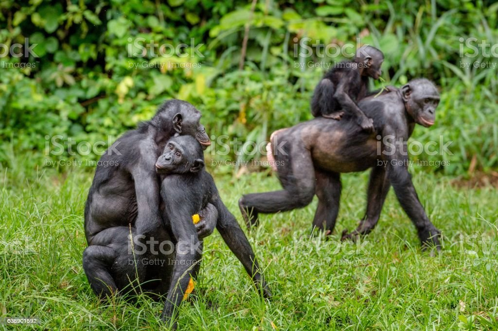 Bonobo mating in natural habitat. - Photo