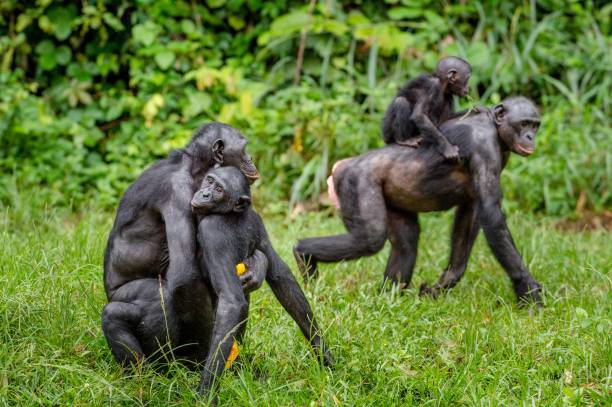 Bonobo mating in natural habitat. - foto de stock