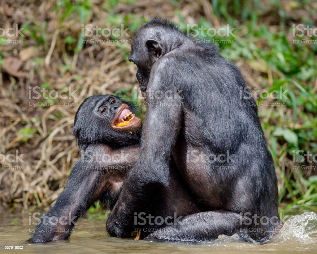 Chimpanzé pygmée Accouplement dans le bassin. - Photo