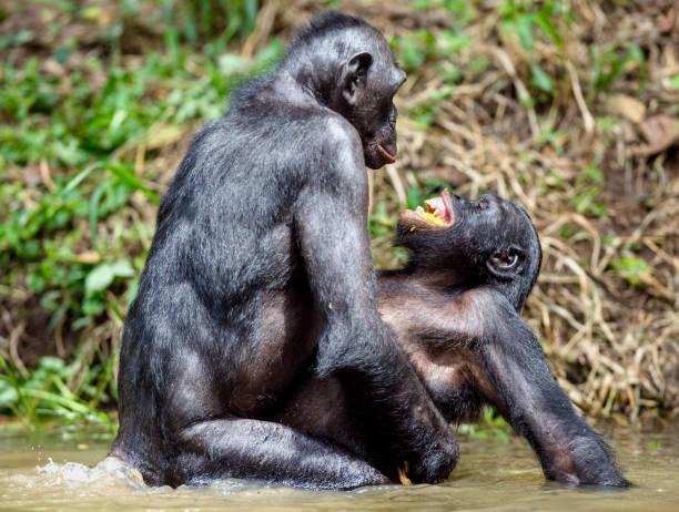 Bonobo mating in the pond. stock photo