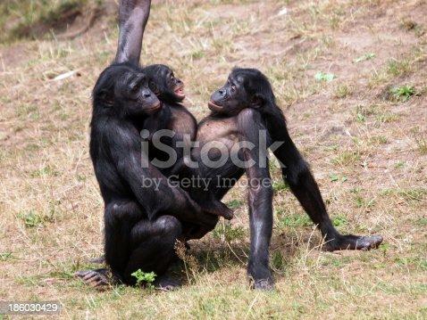istock Bonobo monkeys having sex 186030429