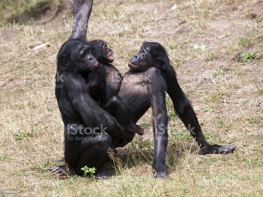 Bonobo monkeys having sex stock photo