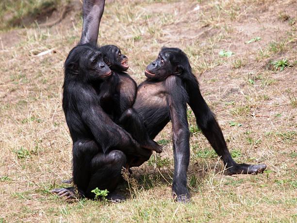 bonobo monos al sexo - mono fotografías e imágenes de stock