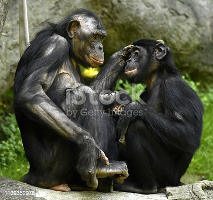 Bonobo Mother with son and daughter